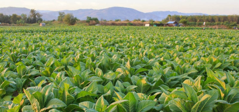 enjoy-dokha-tobacco-fields-2