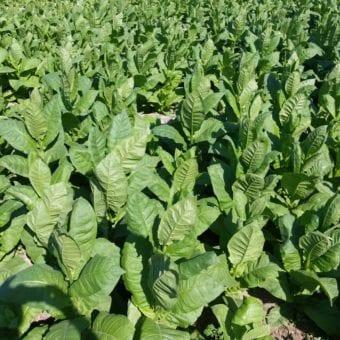 Dokha tobacco fields in Dubai