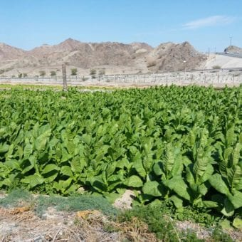 3 Enjoy Dokha tobacco fields in Dubai Arabic tobacco farm