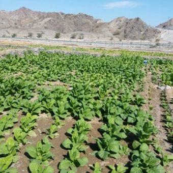 Enjoy Dokha tobacco fields in Dubai Arabic tobacco farm