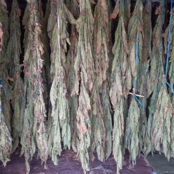 Enjoy Dokha tobacco hanging to dry in Dubai Arabic tobacco farm