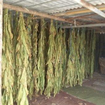Dokha tobacco hanging to dry in Dubai Arabic tobacco farm