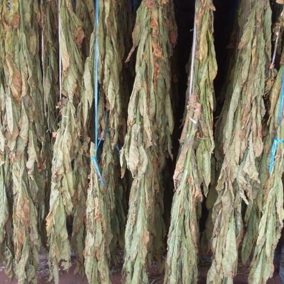 Guide of Dokha tobacco - Dokha farm 3